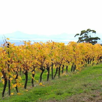 Vineyard In Porongurups